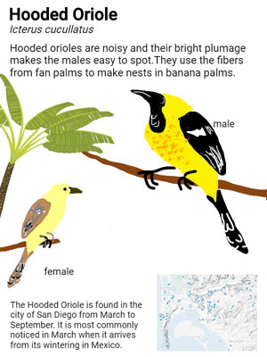 sample student field guide page for the Hooded Oriole